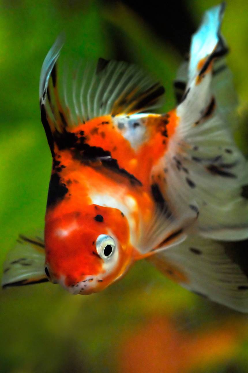 Comet goldfish pond for Best goldfish for outdoor pond