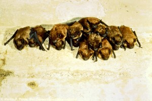 Big brown bats