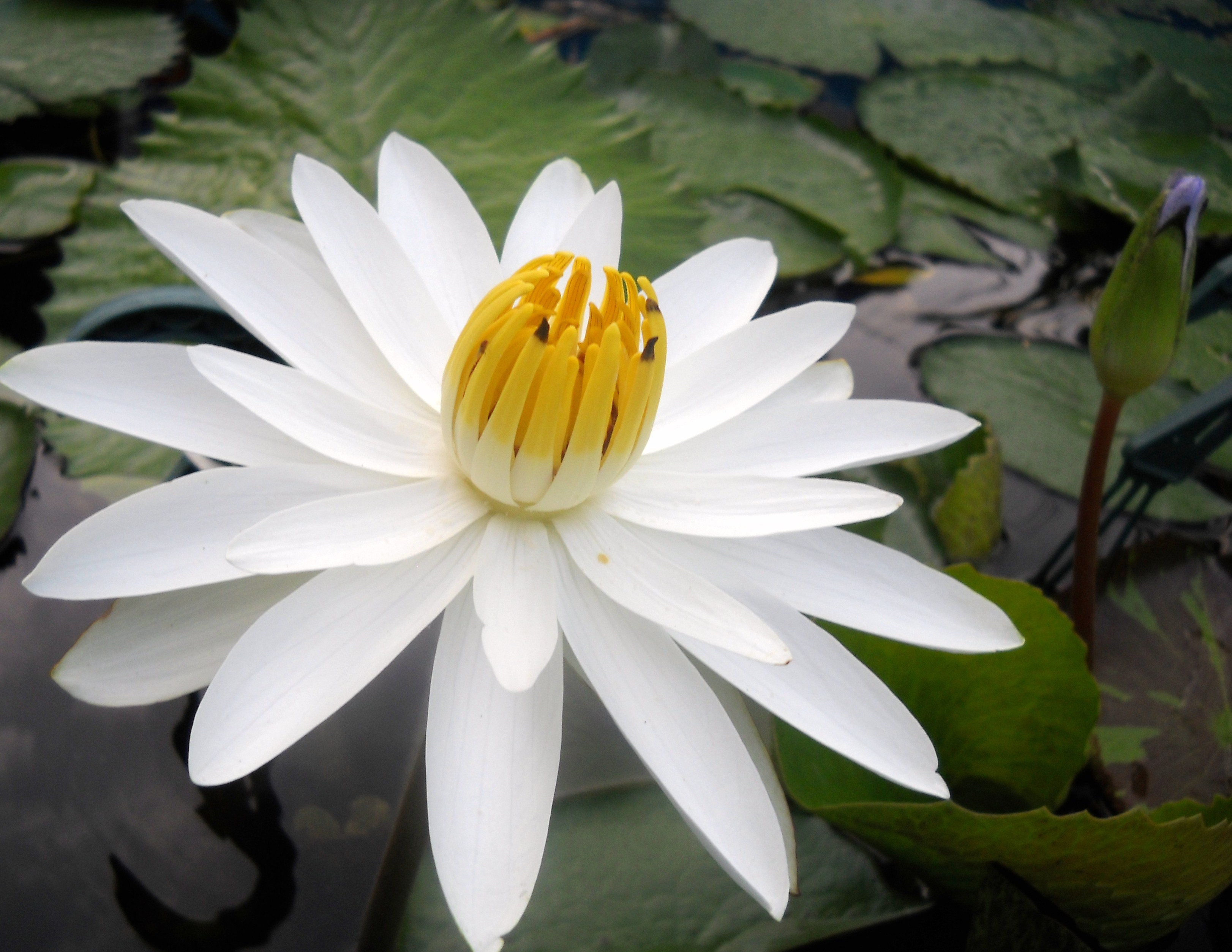 Tropical vs hardy water lilies backyard getaway although both hardy tropical water lilies are available in sizes ranging from dwarf to large the tropical lily pads tend to be larger than izmirmasajfo Images